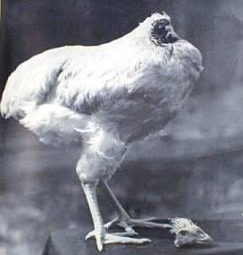 Headless chicken